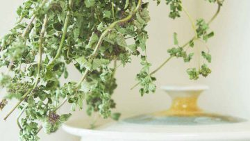 how to dry your own oregano